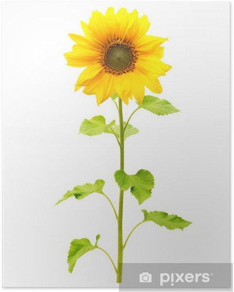 Plakát Slunečnice rostlin na bílém pozadí. - Zemědělství