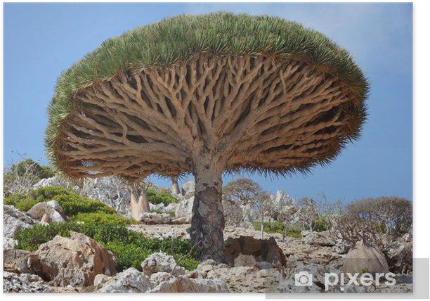 Plakat Smok drzewo, Socotra island, Jemen - Wakacje