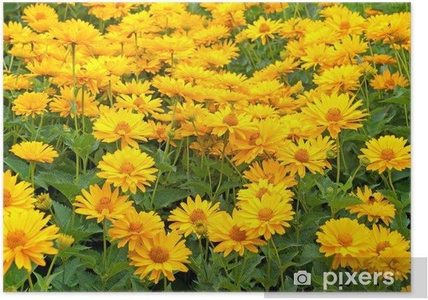 Plakát Sonnenaugen - Heliopsis - Květiny