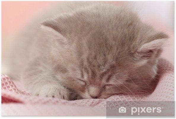 Plakat Spanie kociaka - Ssaki