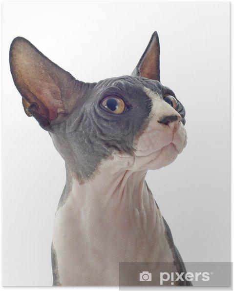 Plakát Sphynx Cat - Savci