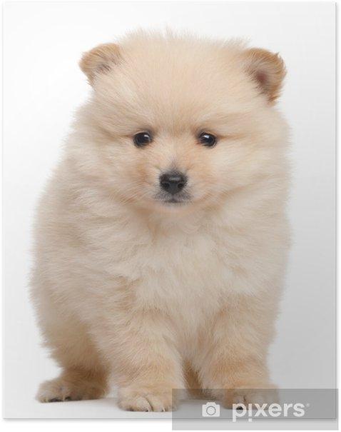 Plakat Spitz puppy, 2 miesiące, siedzący z przodu białe tło - Ssaki