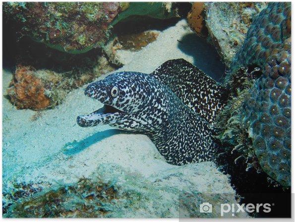 Plakat Spotted Eel Murray na Morzu Karaibskim - Ameryka