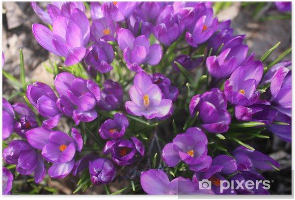 Plakát Spring Crocus květiny - Roční období