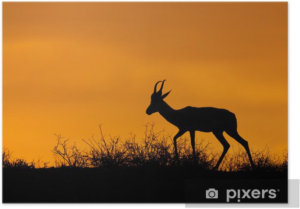 Plakat Springbok sylwetkę, pustyni Kalahari - Ssaki