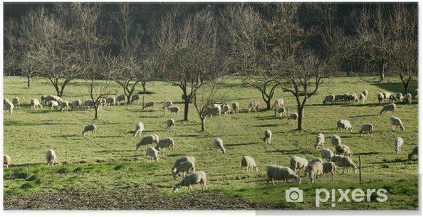 Plakat Stado owiec Cevennes - Ssaki