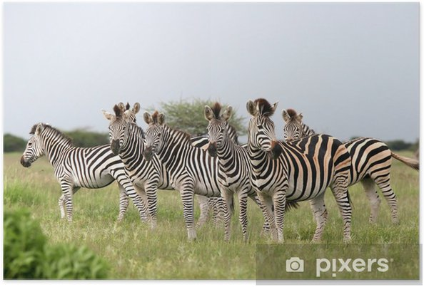 Plakat Stado zebry burchell - Tematy