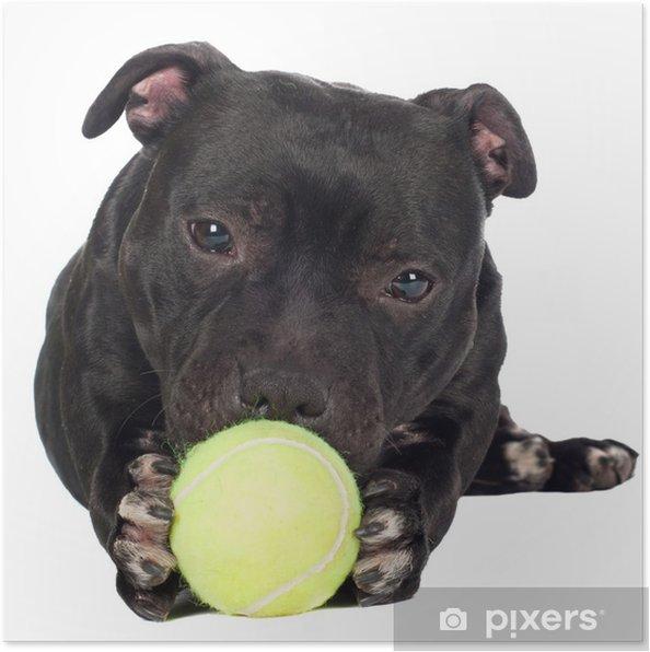 Plakat Staffordshire bull terrier pies trzyma piłkę tenisową - Ssaki