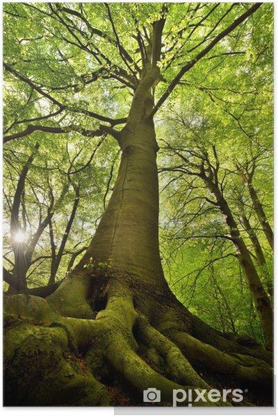 Plakat Stare drzewo buk -