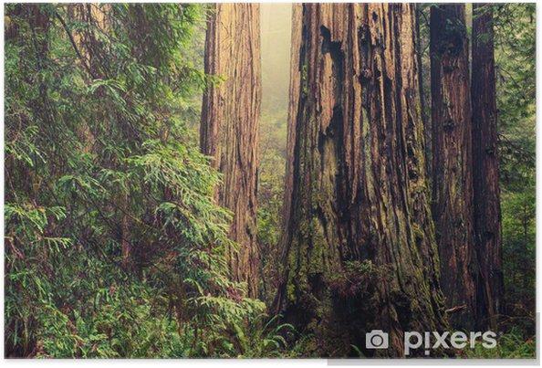 Plakat Stary Redwood Drzewa - Lasy