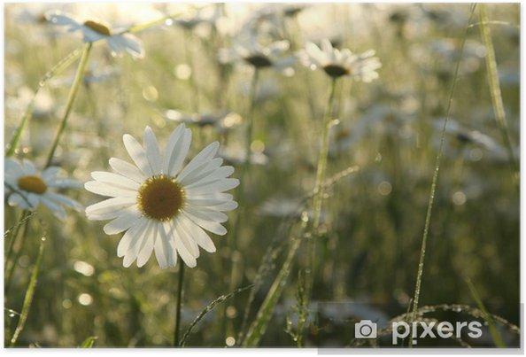Plakat Stokrotki na łące podświetlany przez porannym słońcu - Kwiaty