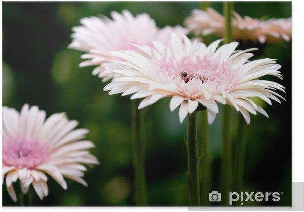 Plakat Stokrotki - Kwiaty