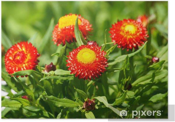 Plakát Straw Květinové typu `Červený trpaslík ' - Květiny