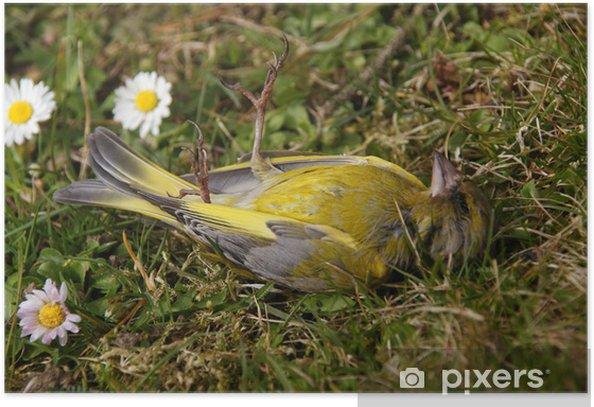 Plakát Strnad obecný - Ptáci