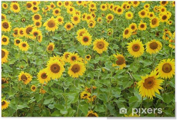 Plakát Sunflower の あ る krajina - Jiné