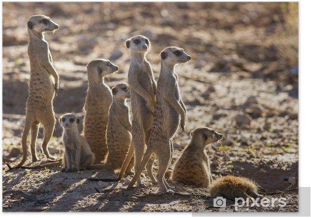Plakat Suricate rodzina stoi w słońcu wcześnie rano patrząc na PO - Ssaki