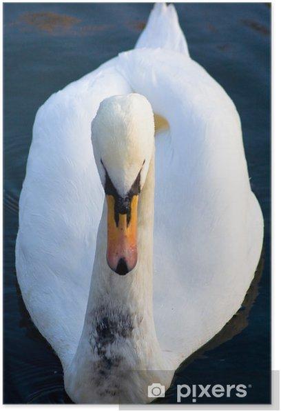 Plakat Swan przód - Ptaki
