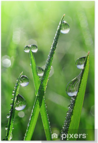 Plakat Świeża trawa krople rosy z bliska -