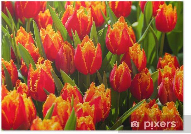 Plakat Świeże tulipany pomarańczowe w ciepłe światło słoneczne - Tematy