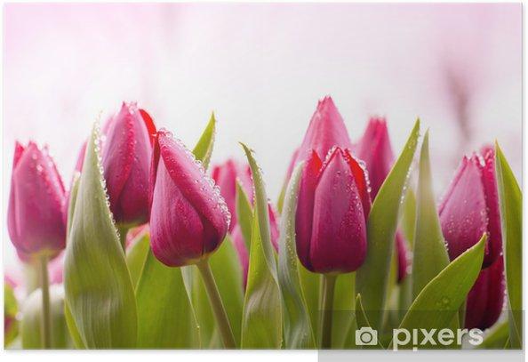 Plakat Świeże tulipany z kropli rosy - Tematy