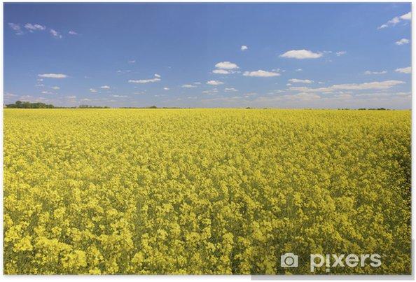 Plakat Świeże żółte pola rzepaku w lecie z błękitne niebo - Pory roku