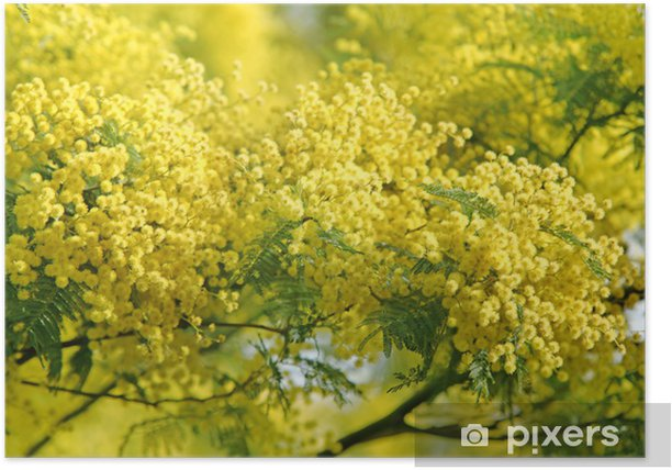 Plakat Symbol kwitnienia mimoza 08 marca - Zagadnienia płci