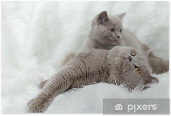Plakat Szary Kot brytyjski na białym tle - Ssaki