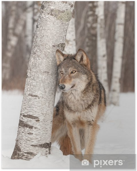 Plakat Szary Wilk (Canis lupus) stoi obok Birch Tree - Tematy