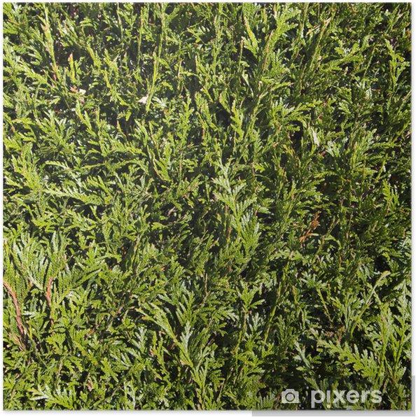 Plakat Szczegół zielony żywopłot - Tekstury
