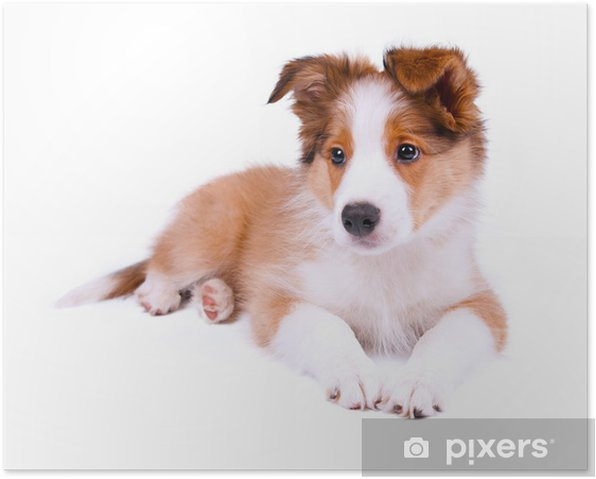 Plakat Szczeniak pies border collie - Ssaki
