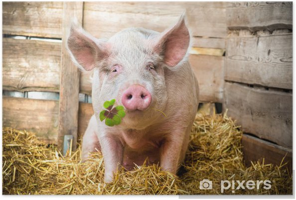 Plakat Szczęśliwy Pig - Tematy