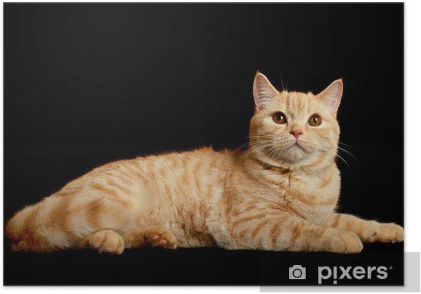 Plakat Szkocki rasowy kot - Ssaki