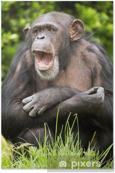 Plakat Szympans - Ssaki