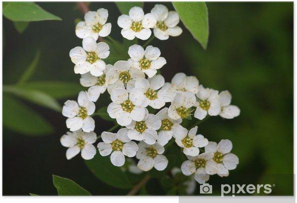 Plakát Tavolník - Květiny