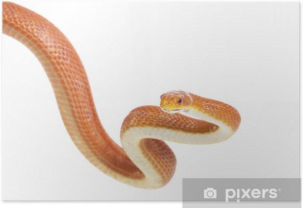 Plakat Texas Rat Snake (Elaphe obsoleta lindheimeri) - Inne Inne