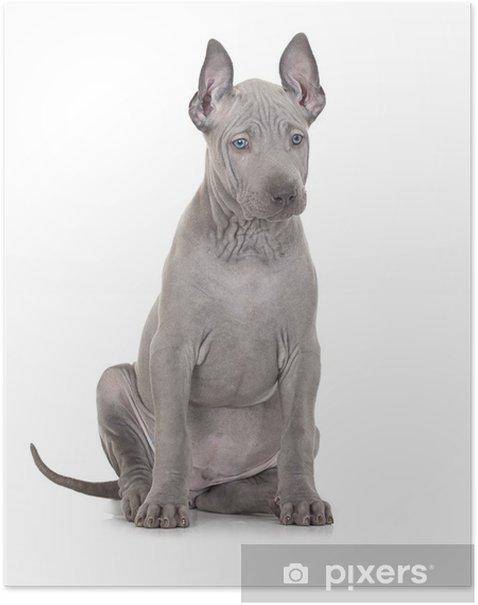 Plakat Thai ridgeback puppy na białym - Ssaki