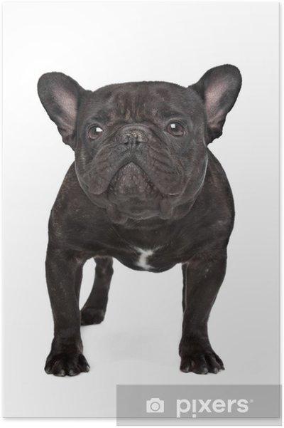 Plakát Tmavě hnědá francouzský buldoček - Savci