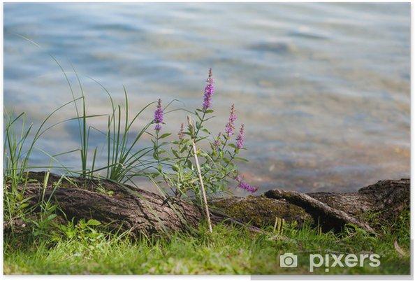 Plakat Trawa i purpurowe kwiaty na brzegu jeziora - Kwiaty