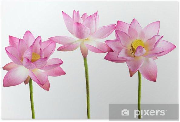 Plakát Tři růžový leknín květ (lotus) a bílé pozadí. - Květiny