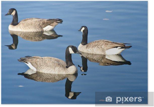 Plakat Trzy Kanada gęsi pływanie w jeziorze jesienią - Ptaki