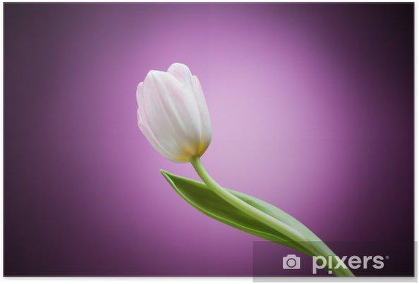 Plakát Tulipán květiny na fialovém pozadí - Témata