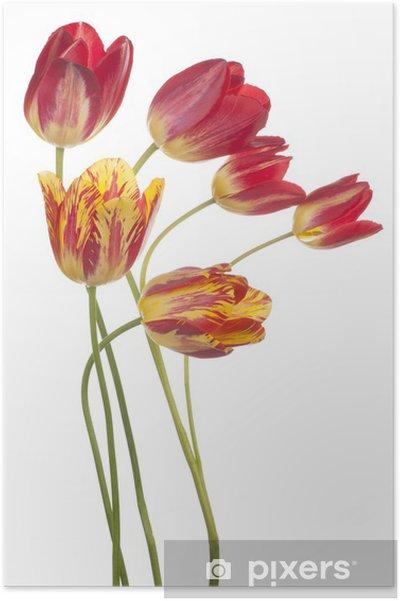 Plakát Tulipán - Květiny