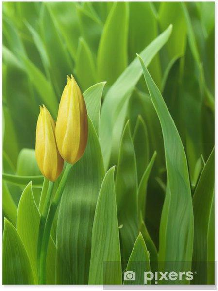 Plakat Tulipany żółte płatki kwiatów - Kwiaty