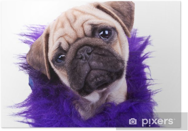 Plakát Tvář roztomilý mops štěně - Savci