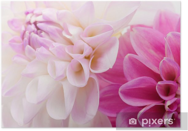 Plakat Two dahlias background - Kwiaty