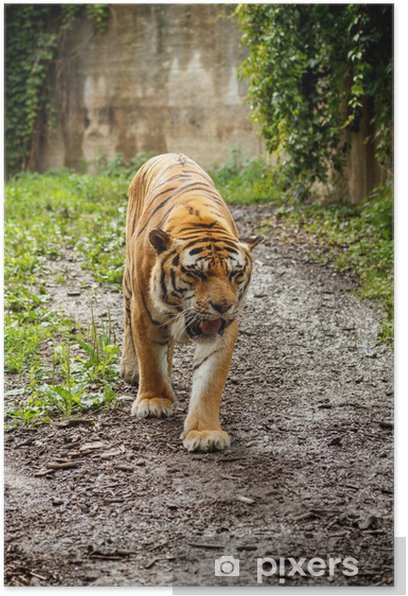 Plakat Tygrys bengalski - Tematy
