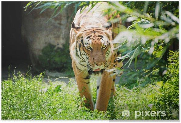 Plakat Tygrys malajski - Ssaki
