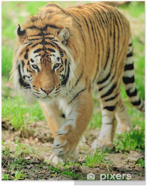 Plakat Tygrys - Ssaki