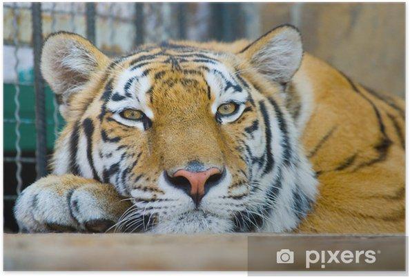 Plakat Tygrys - Tematy