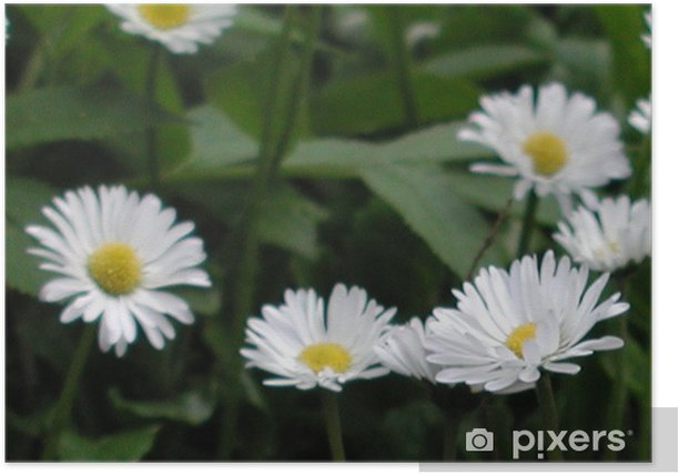 Plakat Up stokrotki przepychają - Kwiaty